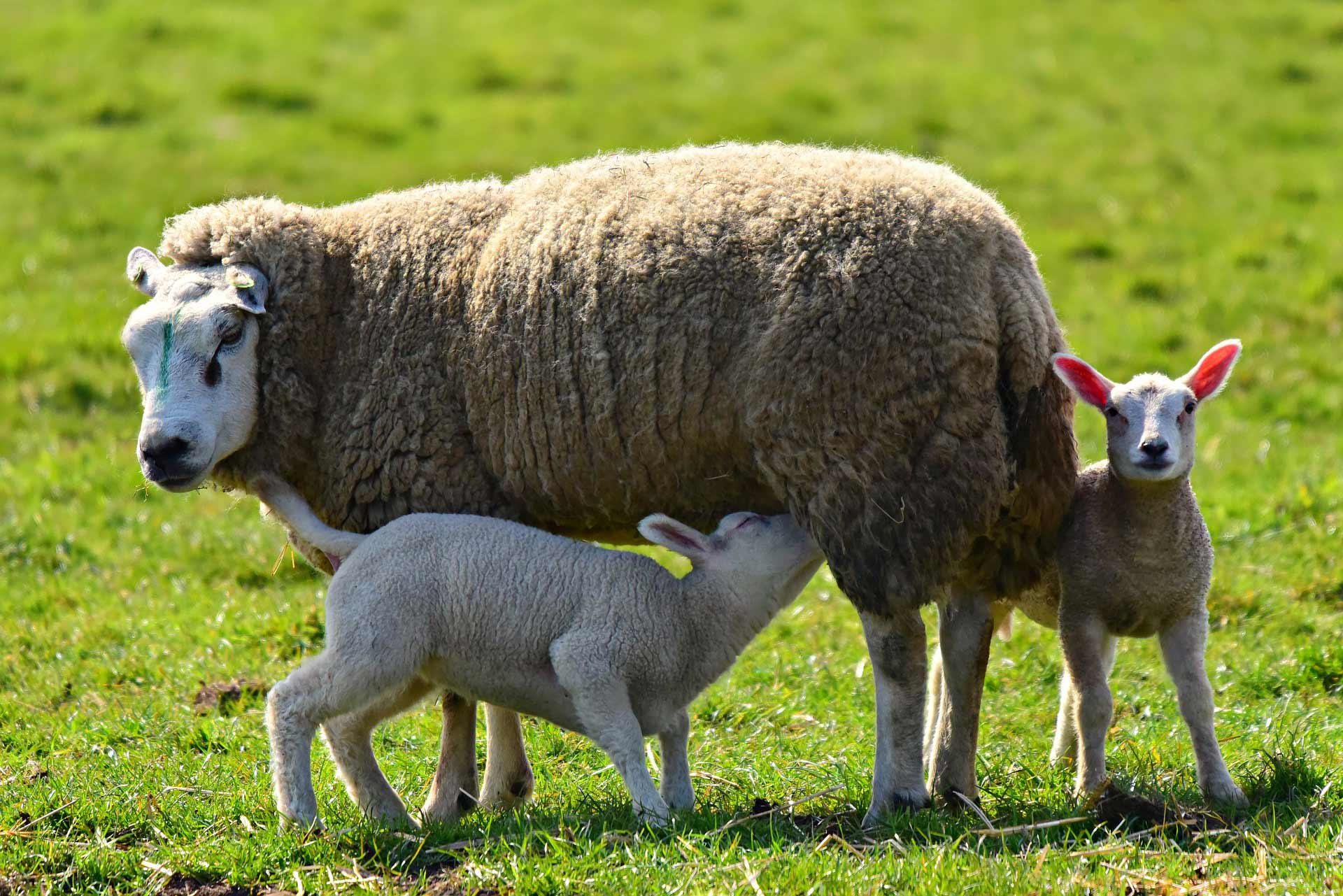 sheep milk, kajmak